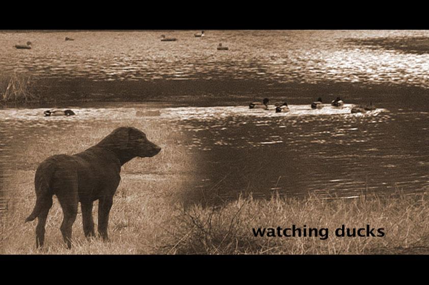 watching-ducks